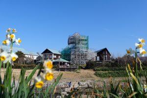 水仙と復旧工事中の「道の駅とみうら枇杷倶楽部」